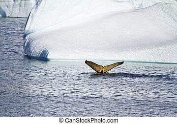 ballena, antártida,  -, cola