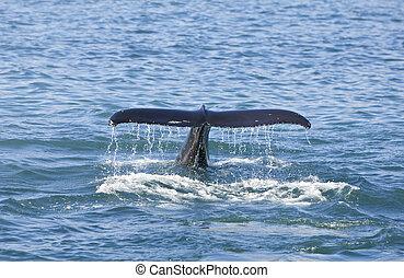 ballena, jorobado, cola