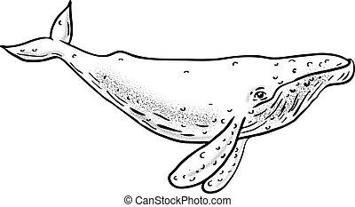 ballena, jorobado, dibujo, lado