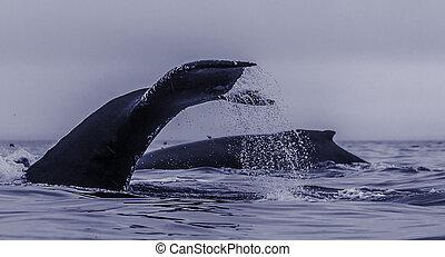 ballenas, alimentación, grupo, Exponer, espalda, P, chiripa,...