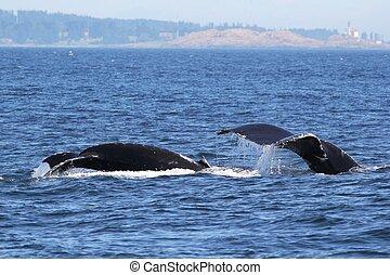 ballenas, bebé, jorobado, mamá, buceo