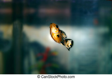 Balloon Molly Tropical Fish (Poecilia Latipinna)