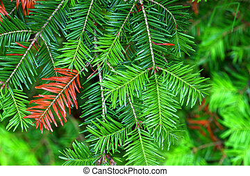 Balsam Fir (Abies balsamea) Needles - Balsam Fir (Abies...