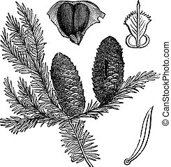 Balsam fir or Abies balsamea, vintage engraving. Old engraved illustration of Balsam fir isolated on a white background.