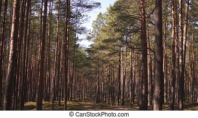 Baltic eastern europe pine forest with high old evergreen...