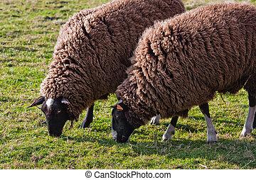 Balwen Welsh Mountain Sheep grazing (1)