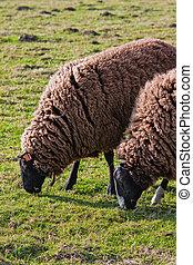 Balwen Welsh Mountain Sheep grazing (2)