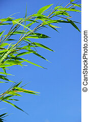 bambú, 37