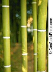 bambú, bastón, plantación verde