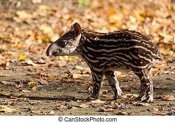 bambino, messo pericolo, americano, tapiro, sud
