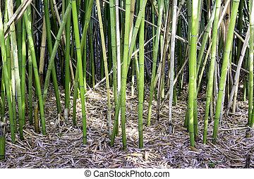 bambo, 茎, 立ちなさい, へ, 高い, 中に, a, 森林
