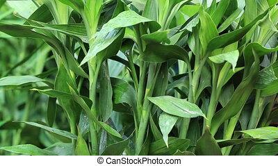 bamboe, chinees