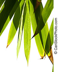 bamboe, gebladerte