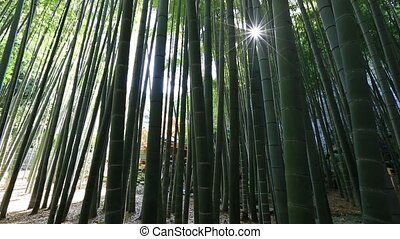 Bamboo background forest