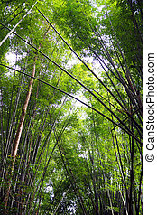 bamboo canopy in a forest