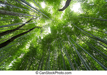 Bamboo forest grove