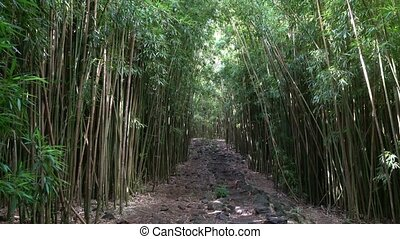 Bamboo Forest in Hawaii - Bamboo Forest in Maui Hawaii