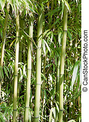 Bamboo Forest in Japanese Garden