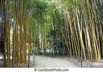 Bamboo forest in the Anduze bamboo plantation in the French ...