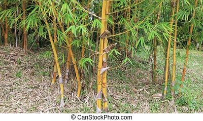 Bamboo forest in the summer