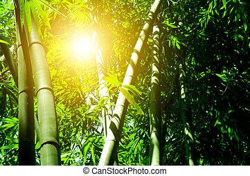 Bamboo forest with sun light