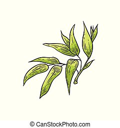 Bamboo green leaves - vector illustration of traditional asian bambu zen plant in sketch style.