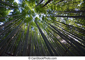 Bamboo grove, bamboo forest