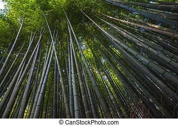 Bamboo grove in Arashiyama, Kyoto, Japan