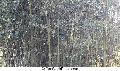 Bamboo grove - small grove of green bamboo