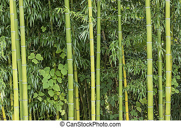 Bamboo Growing in Nature