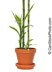 Bamboo in a Pot