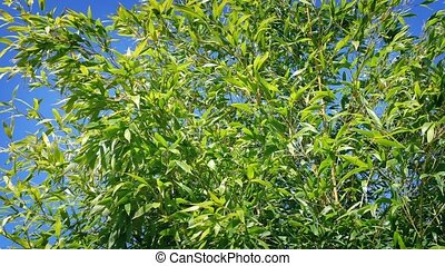 Bamboo In Breeze On Sunny Day - Bamboo plants sway in breeze