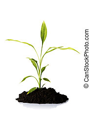Bamboo in the soil - Bamboo plant in the soil, isolated on...