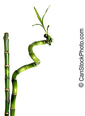 Bamboo isolated