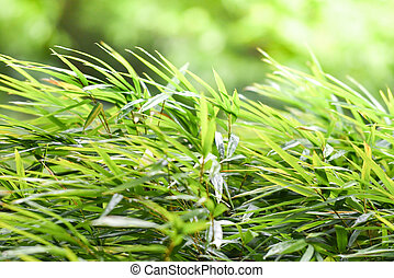 Bamboo leaves on nature green blur background in the bamboo forest tree in asia