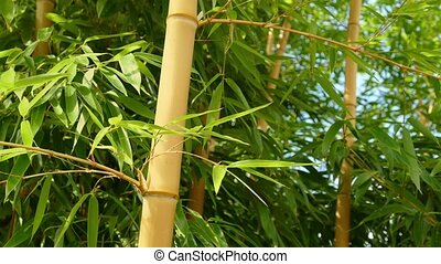 Bamboo Plants In Breeze