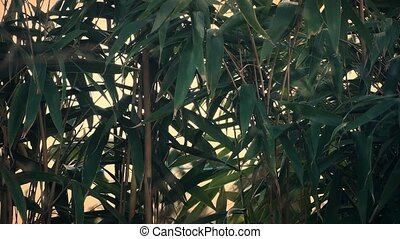 Bamboo Plants In The Wind