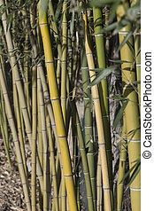 Bamboo reeds