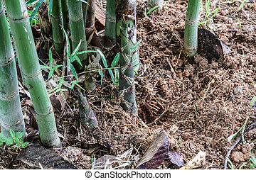 Bamboo shoots - Fresh bamboo shoots in the soil.
