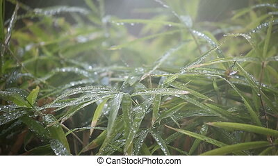 bamboo sprinkled - leaves of a bamboo plant under spray from...