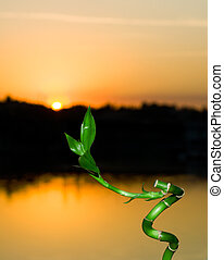 Bamboo sprout on sunset background