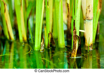 Bamboo stalks on water