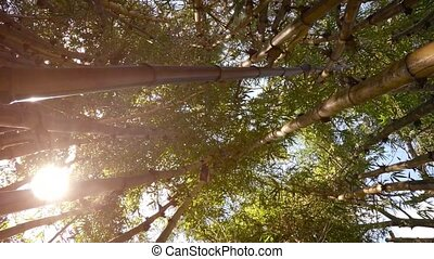 In bamboo thickets - view upwards. FullHD stock footage