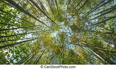 Bamboo (Bambuseae) trees perspective seen from below