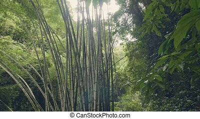 Bamboo trees in rainforest on background green tropical...