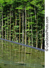 Bamboo with water reflection