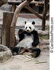 bambou, manger, ours panda