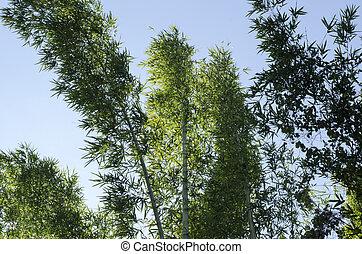 bambus, auf, blauer himmel, hintergrund