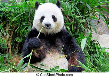bambus, essende, panda