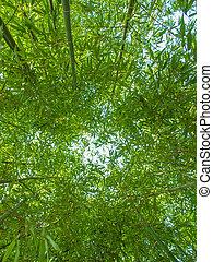 bambus, rośliny